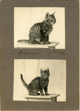 Petit chat prenant la pose  Vintage silver print. Collage de 2 photos de 5,5x7 c