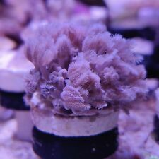 PULSING XENIA FRAG/SOFTCORAL/MARINE