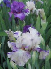 New listing 1 Brindled Beauty Tall Bearded Iris