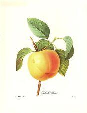 1991 Vintage REDOUTE FLOWER #12 WHITE CALVILLE APPLE Color Art Print Lithograph