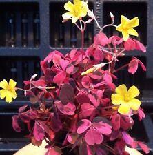 "OXALIS 'PLUM CRAZY' 3 PLANT COMBO (2 1/4"" INCH POT)"