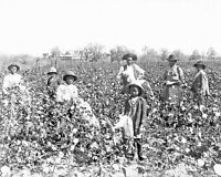 Black Cotton Farmers in Southern USA in 1890 - 8x10 Black History Photo