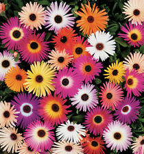 Ice Plant Seeds, Livingstone Daisy Seeds, Ground Cover Seeds, Mixed Daisies, 100