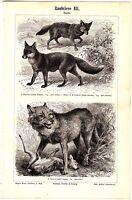 ca 1890 Fox, Wolf, Civet Mongoose, Carnivores Predator Animals Antique Print