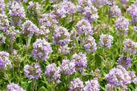 Garten Pflanzen Samen winterharte Zierpflanze Saatgut Kräuter ECHTER THYMIAN