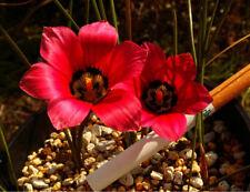 Rare Romulea amoena Seeds South African Crocus Seeds Carmine Red Flowers Garden