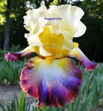 "Tall Bearded ""Rainbow High"" Iris - A Real Color Show '09 * Perennial * Pre-Sale"