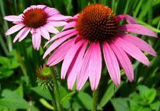 Echinacea Seed - Purple Coneflower Perennial Drought Tolerant Good Cut Flower