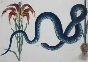 MARK CATESBY & GEORGE EDWARDS-LIM.ED Hand Colored Etching-Blue Wampum Snake