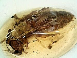Burmese Fossil Cretaceous Amber/Burmite W HUGE Fly Inclusion SP8 0.39g