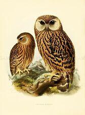DRAWING BIRD ROWLEY KEULEMANS LAUGHING OWL ART PRINT POSTER LAH347A
