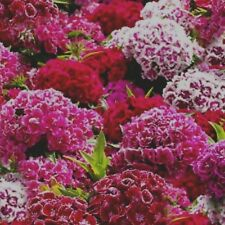 Sweet William double Mixed Approx 2000 seeds