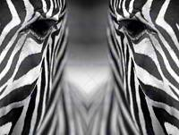 ZEBRA BLACK WHITE ANIMAL SYMMETRY CLOSE UP PHOTO ART PRINT POSTER BMP1875B