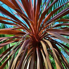 # 37 10 Samen Cordyline australis,Kolbenbaum,Keulenlilie