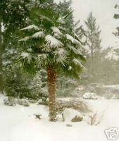 sie ist eine wunderschöne Wucht: winterharte HANFPALME
