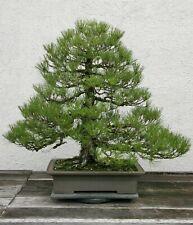 Pinus Thunbergii * Japanese Black Pine * Rare Bonsai Tree * 10 Seeds *