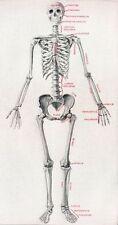 Vintage Human Anatomical Skeleton Skeletal Chart System Poster Print repro