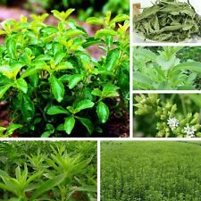 60pcs Green Stevia Sweetleaf Diabetic Natural Sugar Substitute Farm Garden Seeds