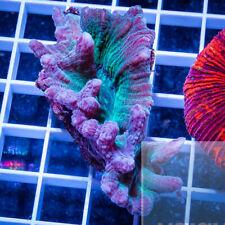 Unique Corals WYSIWYG, Premium Pectinia