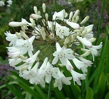 25+ White Lily of the Nile Agapanthus Flower Seeds /  Long Lasting Perennial