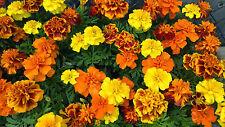 Marigold Sparky Flower Seeds - Garden Seeds - Bulk