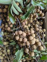 30+  Longan Seeds , Dragon Eye Fruit Sweet Delicious , July 2020 , in Florida