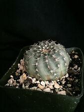Echinocereus pulchellus v. weinbergii, cactus plant