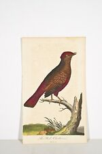 G EDWARDS Gravure ancienne 1802 The red Chatterer / Craterope rouge Oiseaux