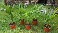 Trachycarpus fortunei Hanfpalme winterhart bis -17°C Palme 50cm Frost