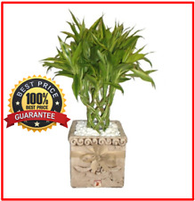 100++ Fresh Lucky Bamboo Seeds Tree Potted  Balcony Planting Simple ! HOT RARE !