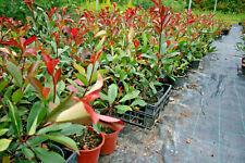 10 photinia red robin pianta da siepe dalle foglie rosse 40-60cm a doppia talea
