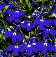 Lobelia Seeds Sapphire 50 Multi Pelleted Seeds Garden Starts Nursery