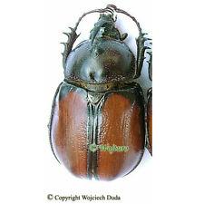 Golofa pusillus  - male, nice and rarer, Mexico