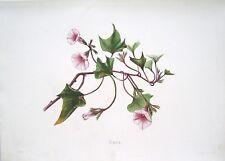 Antique Hawaii Botanical Print: Hawaii Native Flower THE UALA: London, 1885