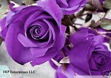 Purple Roses Seeds Bush Climbing Annual Blooms Organically & Usa Grown