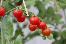 Rote Murmel kleine Wildtomate fürs Freiland widerstandsfähig gegen Braunfäule