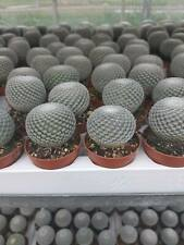 Mammillaria albilanata Sämling/seedling  x 3 pots