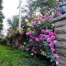 100X Lots Rose red Climbing Rose Seeds Perennial Flower Garden Decor Plant Seed