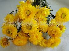 STRAWFLOWERS, DARK YELLOW - natural, air dried, dried flowers, with stems