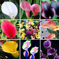 UK 100PCS Rare Colorful Calla Lily Flower Seeds Home Garden Plants Seed Bonsai