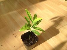 Sandalwood tree ( Santalum album ) * 1 PLANT * NEW!