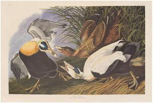 Audubon Amsterdam Ed. Double Elephant Folio 1971 lithograph Pl 246 Eider Duck