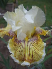 *** SPRING MADNESS ***  -  RUFFLED WITH LINE AND SPECKLES - SLIGHT FRAGRANCE