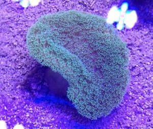 Flourescent Green Polyp Toadstool WYSIWYG