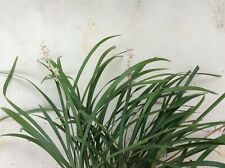 Monkey grass, Lilyturf, fountainy evergreen, borders, rock garden, gardens