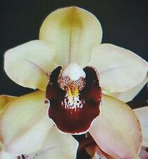 Cymbidium Willunga Pearl Eyecatcher early blooming Cymbidium Orchid 150MM
