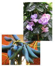 Zwei seltene Wahnsinns-Pflanzen: SCHNECKENBOHNE und schöne BLAUGURKE im Garten !