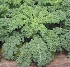 Seeds Cabbage Kale Zelonaya - Borecole Organically Grown Russian Heirloom