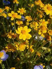 1500 California Sunshine Goldfields Lasthenia Glabrata Yellow Flower Seeds +Gift