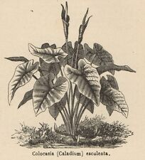 C8751 Colocasia esculenta - Stampa antica - 1892 Engraving
